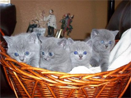 BSH Kittens are 11 weeks old now,
