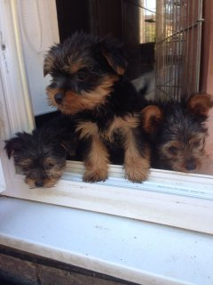 Gorgeous Pedigree Yorkshire Terrier Pupies For Sale