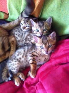 Pedigree Brown Rosette Bengal Kittens