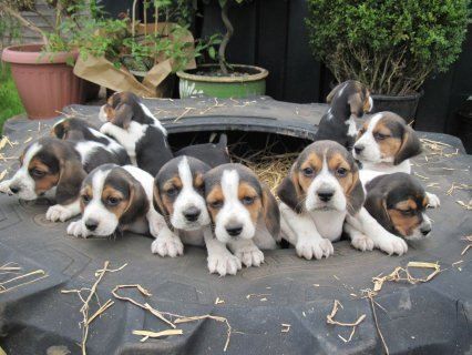 Quality Pure Bred Pedigree Beagle Tri Colour Puppies