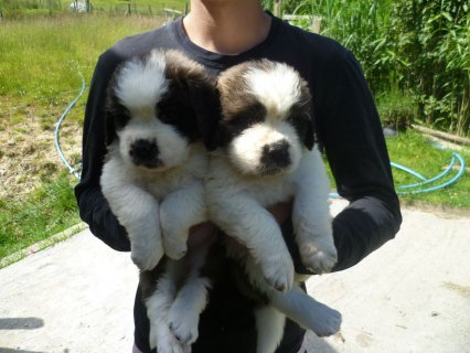 Super Saint Bernard Puppies fo adoption