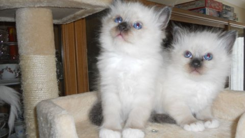 Beautiful Pedigree Birman Kittens