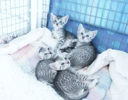 Beautiful Pedigree Egyptian Mau Kittens For Sale