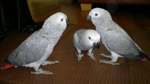 Hand-reared Babies African Grey Parrots for sale