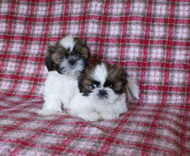 KC Registered Shi Tzu puppies available