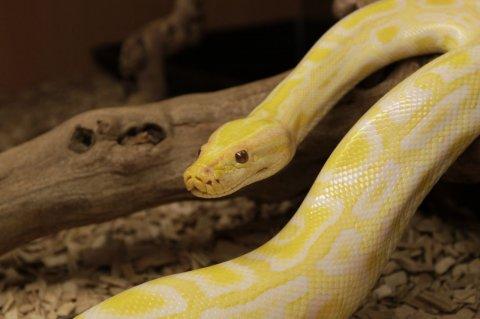 Male And Female Albino Burmese Pythons Proven Breeder 1234grams
