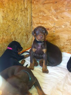 صور Doberman Puppies For Sale. 1