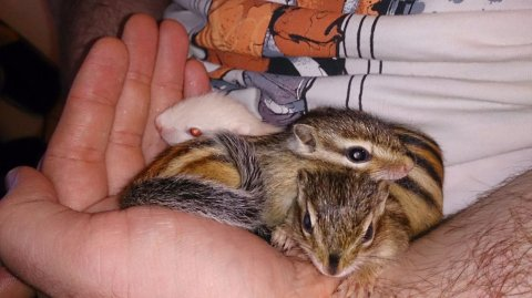 صور Babies Chipmunks For Sale Available Now 1