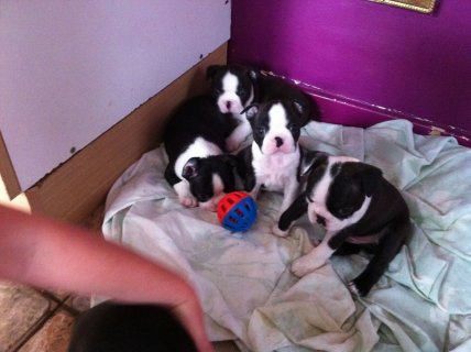 3 Boston Terrier Babies 1 Boys And 2 Girls