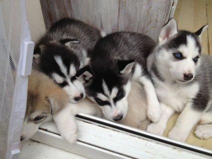 Pure Pedigree Blue Siberian husky puppies for sale