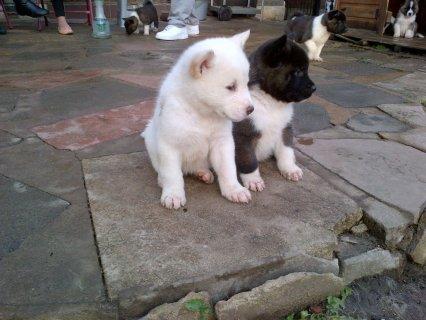 Stunning Chunky Akita Puppies