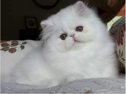 Adorable Persian Kitties for Sale
