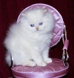 Persians kitten