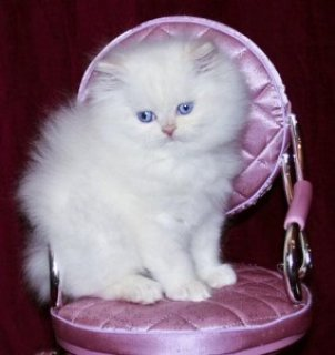 Cute and adorable White Persian kittens ready for adoption