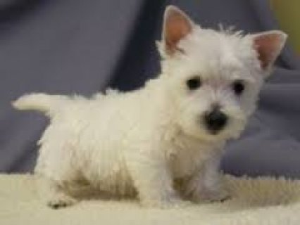 bSweet male and female West Highland White Terrier puppies ready