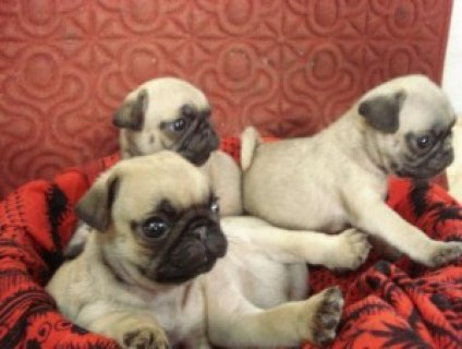 pure breed pug puppies for sale.