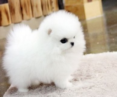 Gorgeous Teacup Pomeranian puppies available