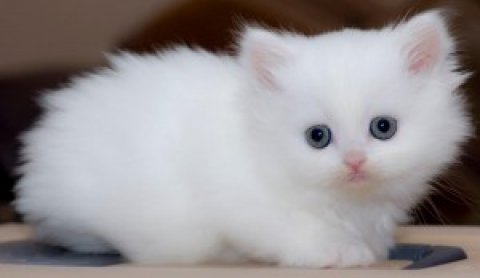 Available persian kittens for re-homing