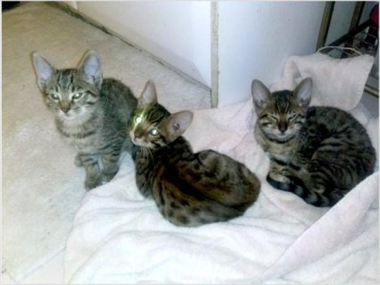 Savannah, jungle cat kittens For Sale