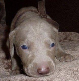 Blue eyes Weimaraner puppies