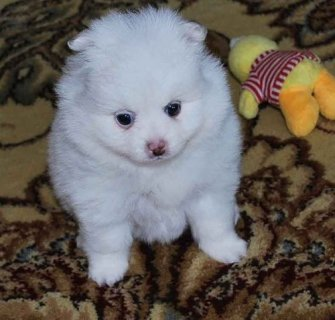 Two Pure White Pomeranian Puppies For Homes