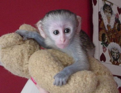 wonderful exoltic capuchin baby for adoption