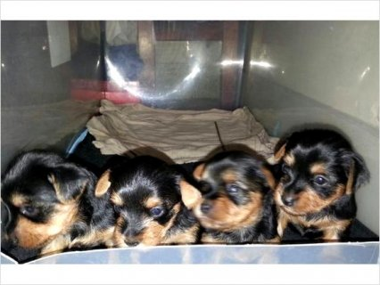 Cute Teacup Yorkie Puppies  for  adoption