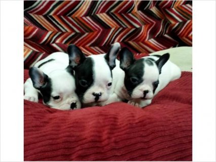 صور Beautiful French bulldog puppies for sale!!! 1