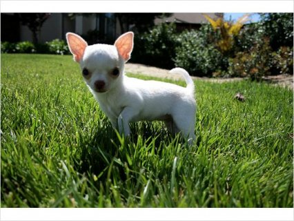 Sweet Chihuahua puppy for good home