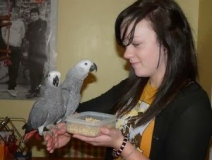 African Grey Parrots For Sale 4