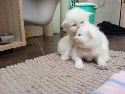 Male and female Teacup persian kittens for adoption