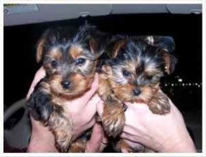 صور Teacup Male and Female Yorkie Puppies for adoption 1