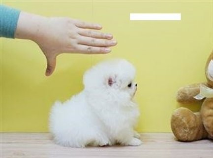 Must See Male and Female Tiny Teacup Pomeranian