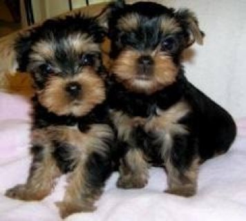 Yorkie Puppies Foe Rehoming Now