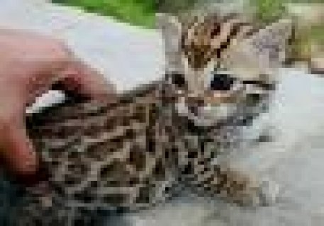 Adorable Male and Female Savannah Kittens Ready