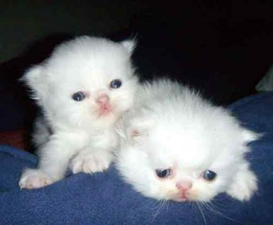 Adorable male and female persain ktten ready now