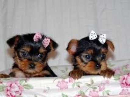 Yorkie Puppies for Rehoming1