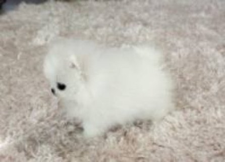White Teacup Pomeranian Puppies For Sale Now