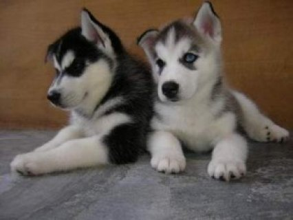 Siberian Husky Puppies For Sale1