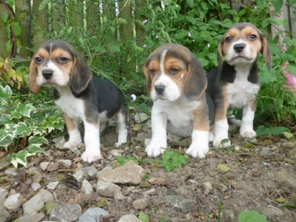 Tri Coloured Beagles Puppies Ready Now   Litter of tri-colored b