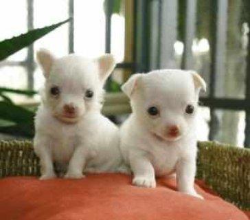 Cute chihuahuas for adoption