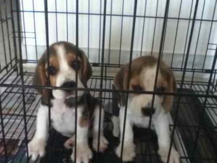 Beagle Puppies Ready for new forever families. .Registered