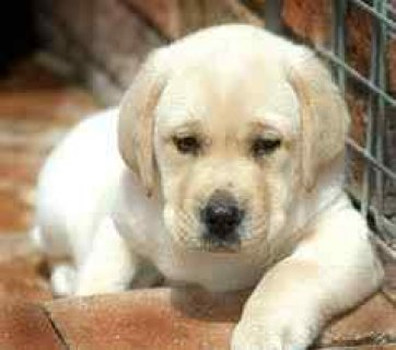 Amazing Labrador Puppies Puppie