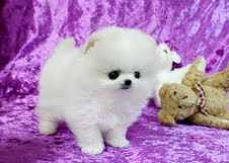 Akc Pomeranian Pups ,Pomeranian--Cute, Neutered, Microchipped, P