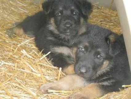 Beautiful German Shepherd Puppies for Adoption......