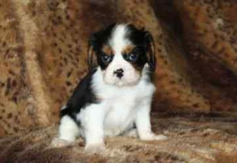Female and Male Cavalier King puppies