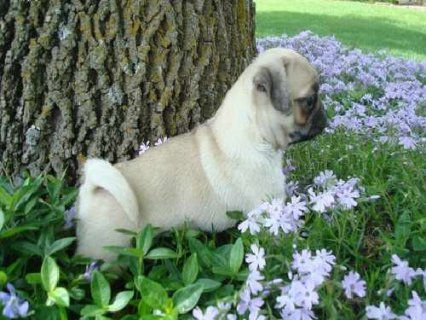 Sweet Lovely Male and Female Cute Pug Puppies For Adoption