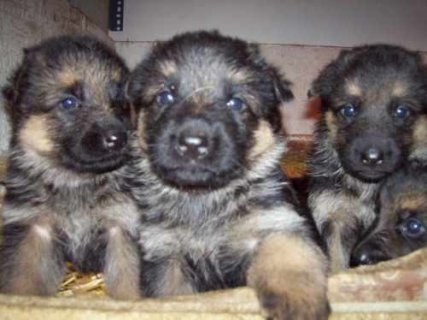 Lovely Adorable Male and Female German Shepard puppies for good