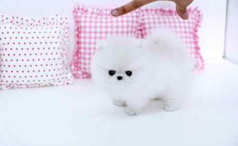Adorable Pomeranian Puppies for Your Home