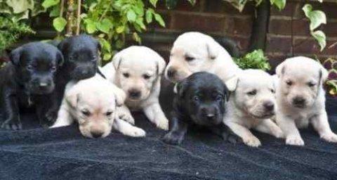 Black And Golden Labradors